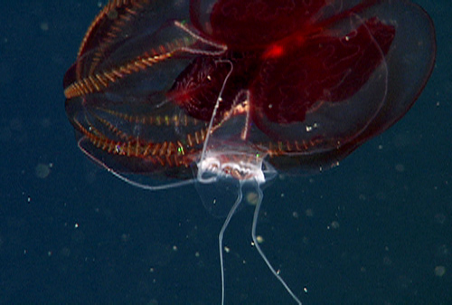 A red lobate ctenophore Lampocteis being eaten by the narcomedusa jelly Aegina.