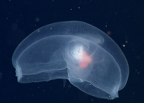 The marvelous mystery mollusc is a species currently being described by the midwater research group.