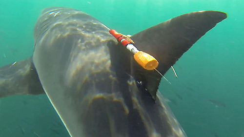 Close view of shark-cam tag