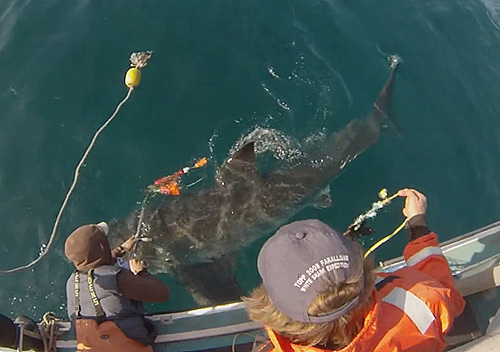 Attaching a shark-cam tag