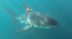 Prototype shark-cam tag