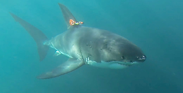 Prototype shark-cam tag