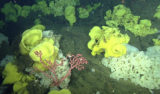 Picasso sponges and bubblegum corals on Sur Ridge. Image: © MBARI