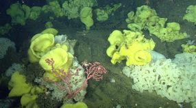 Picasso sponges and bubblegum corals on Sur Ridge. Image: © MBARI