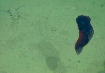 A sea cucumber swims just up off the seafloor at 3,000 meters (9,842 feet).