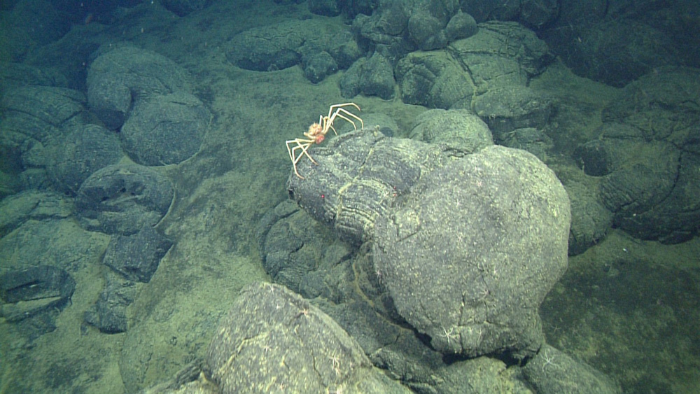A large crab (Macroregonia macrochira, about 35 cm across) is perched on a large lava pillow.