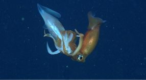 A Gonatus onyx squid (right) in the process of consuming another Gonatus onyx squid of the same size (left).