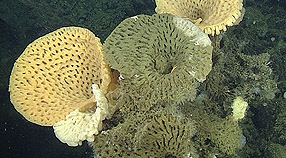 MBARI researchers photographed these large goiter sponges during an ROV dive on Sur Ridge in 2014.