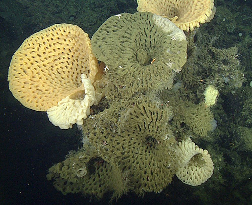 MBARI researchers photographed these large goiter sponges during an ROV dive on Sur Rdige in 2014.