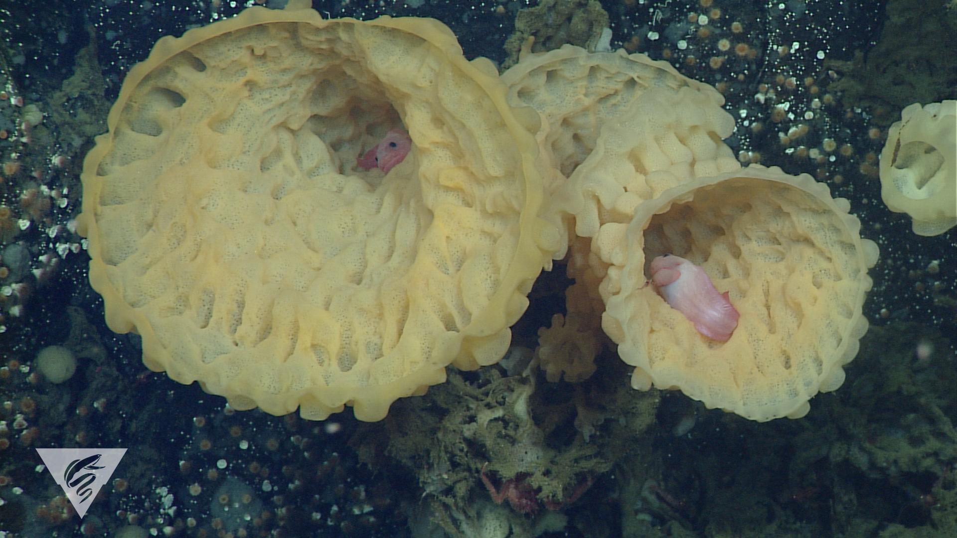 Snailfish hiding in sponges