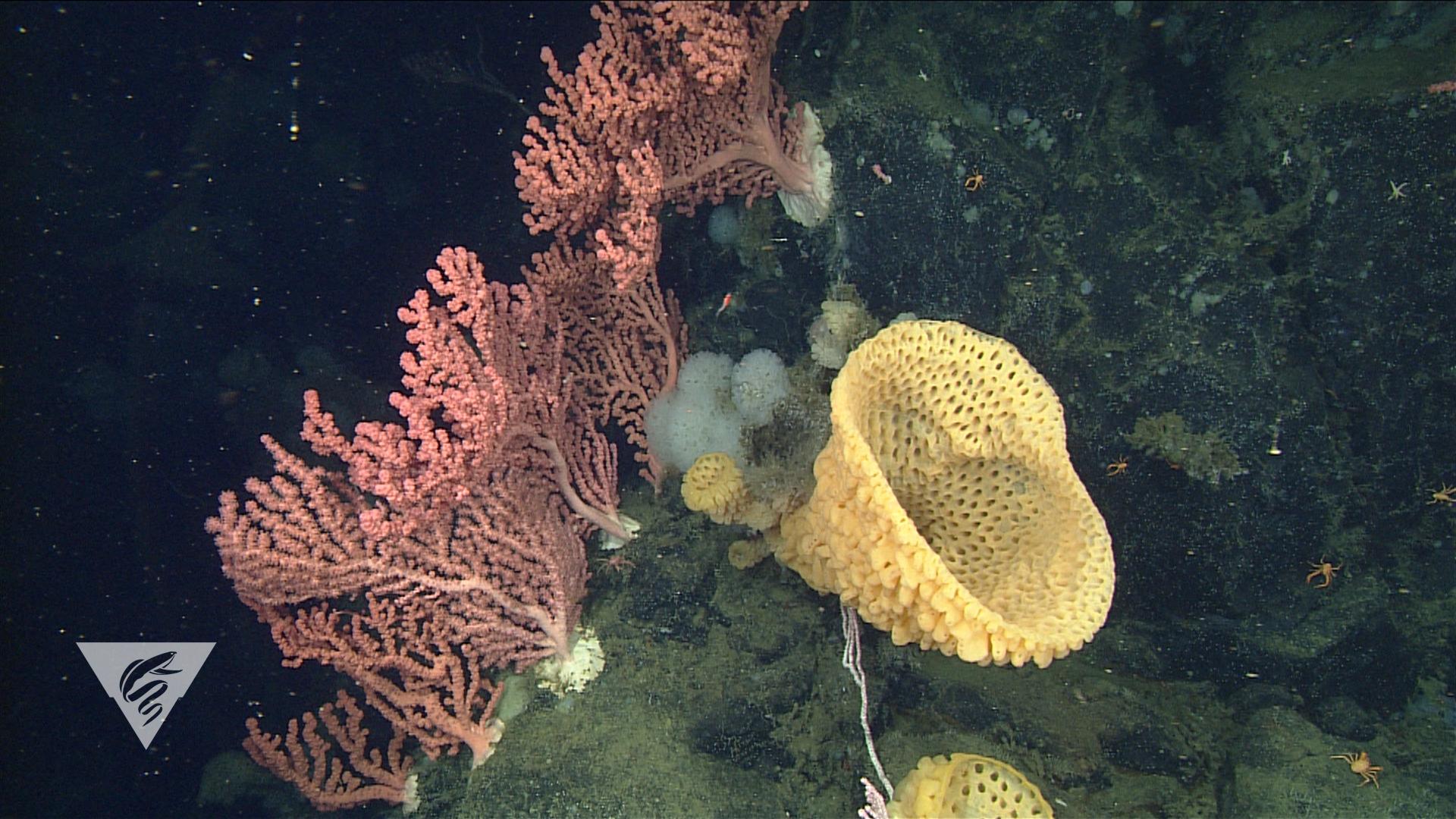 Bubblegum corals and goiter sponges