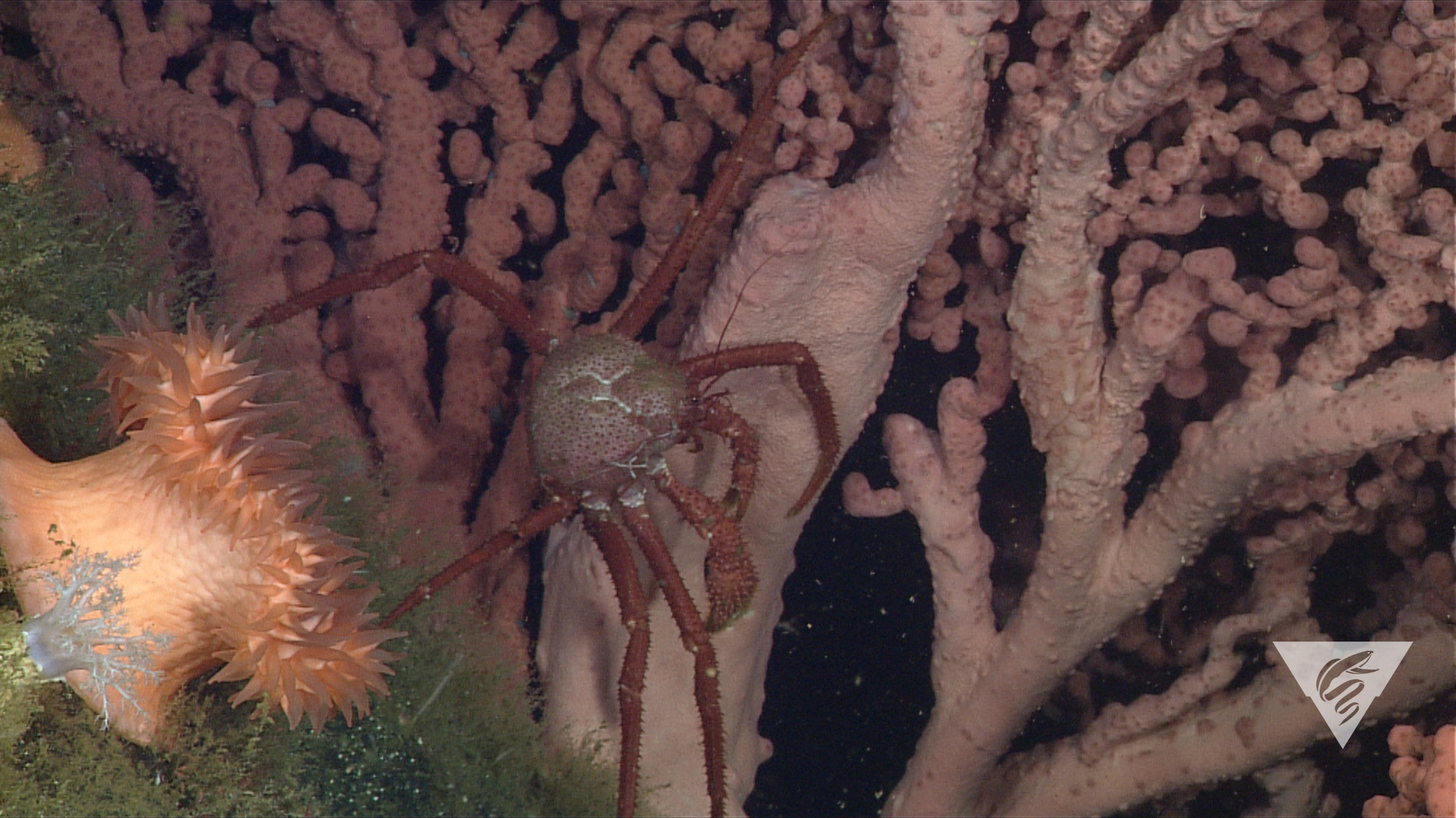 Crab (Paralomis  sp.)