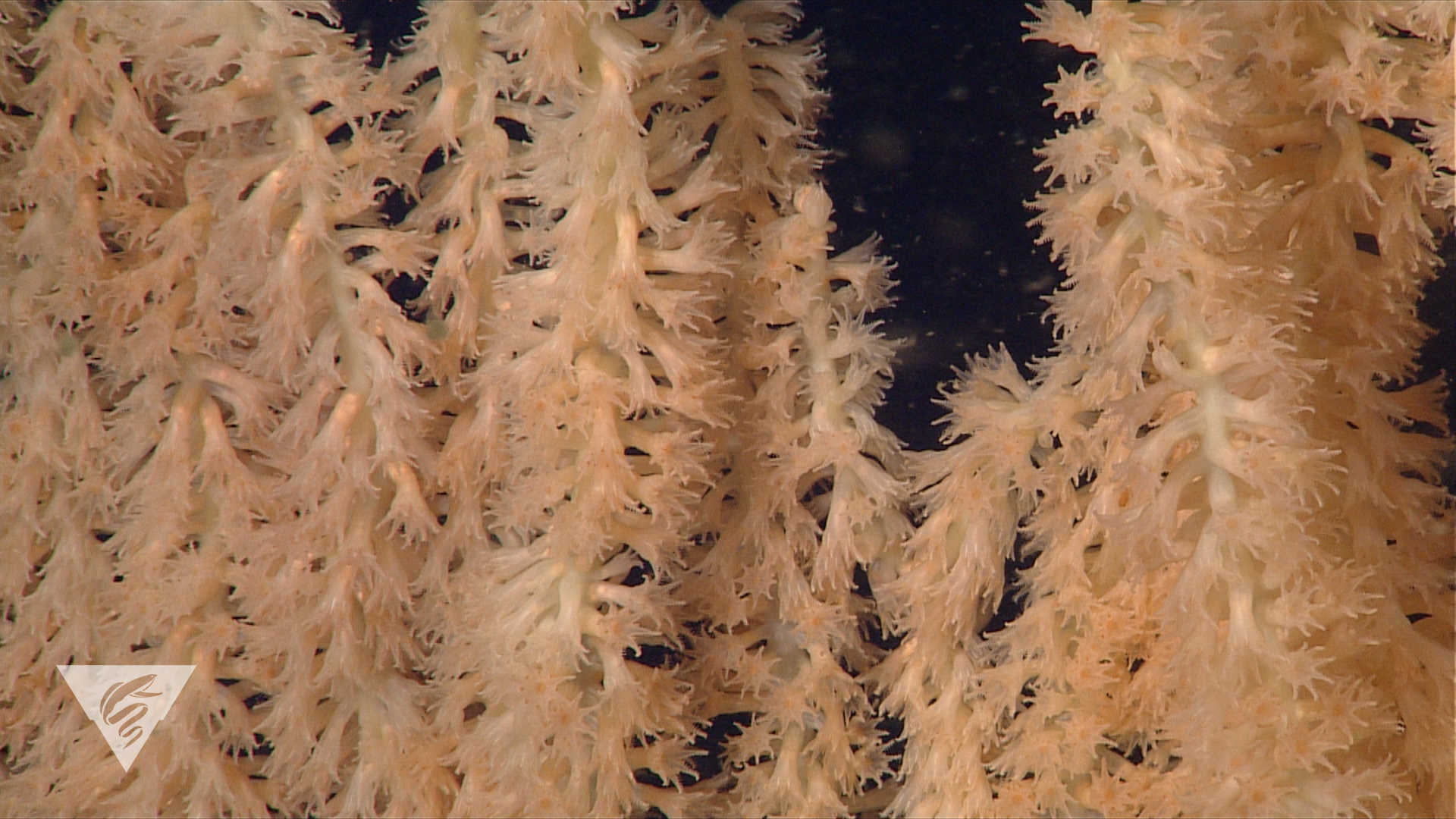 Close-up of coral polyps of Isidella tentaculum