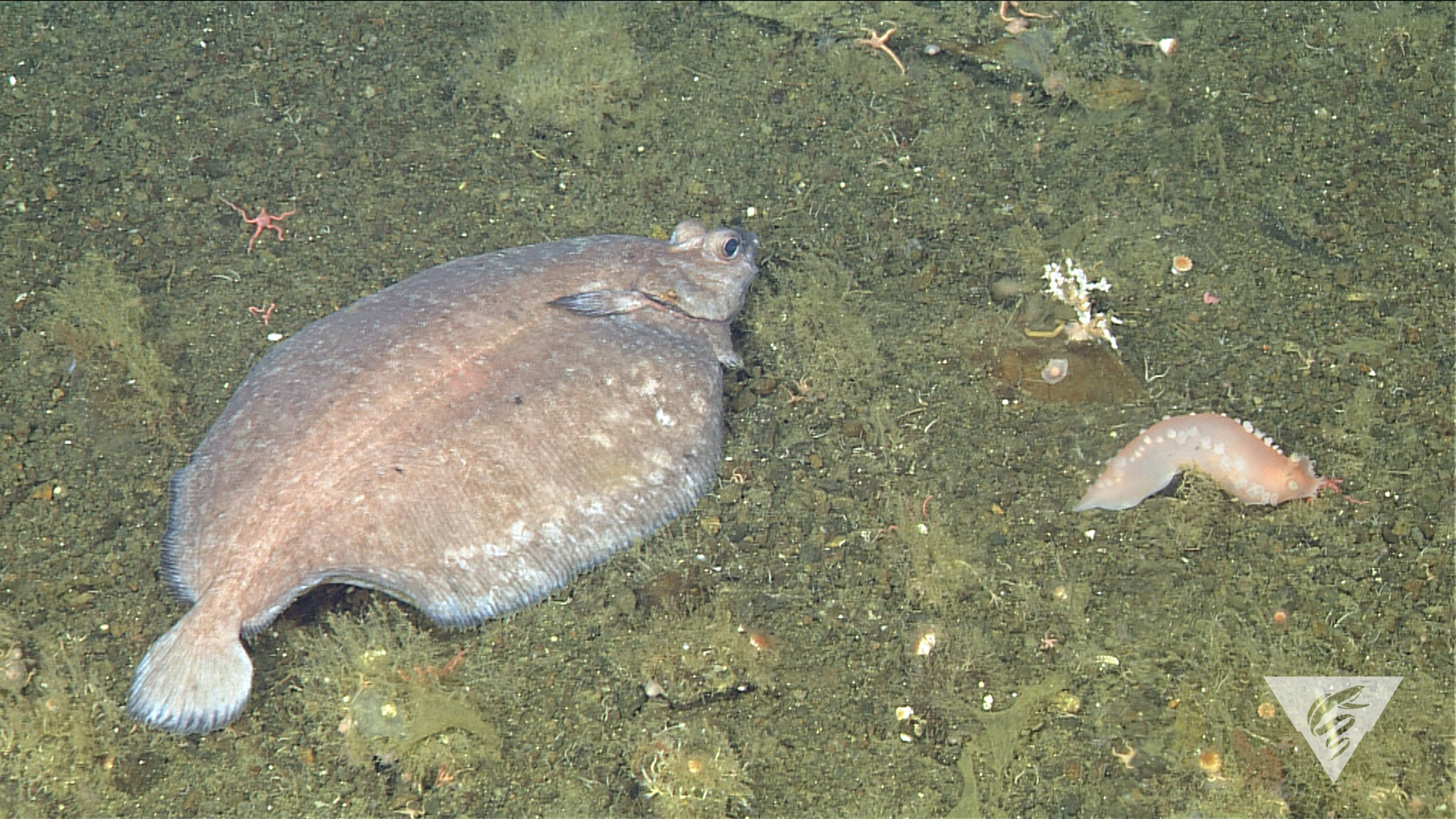 Flatfish and nudibranch