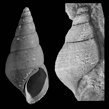 rubyspira-fossil-350