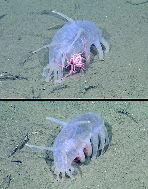 Juvenile king crabs sometimes crawl arond on the sides of sea pigs, but more often hide beneath the sea pigs, as shown in the bottom image. Photo: (c) 2011 MBARI