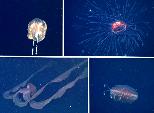 Upper left: This cydippid comb jelly is about the size of a cantaloupe. Upper right: This beautiful jelly, Crossota millsae is somewhat rare—in 25 years we've only seen it approximately 70 times with our ROVs. It is named after one of our favorite jelly researchers, Dr. Claudia Mills. Lower left: Stygiomedusa gigantea is one of the largest jellies we see in the deep sea. The bell (in the center of the photo) was about 60 centimeters (nearly two feet) in diameter and the oral arms (trailing up and to the right in the photo) are many meters long. MBARI's ROVs have only seen this jelly eight times. Lower right: Atolla gigantea is a rare jelly only that we collected for our colleague at home George Matsumoto.