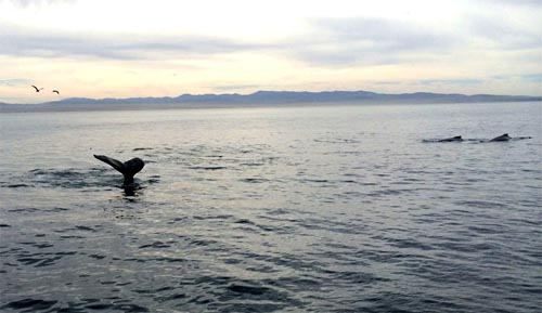 A humpback whale shows its fluke as it dives for another gulp of food. The dorsal fins of two more humpback whales can be seen to the right with the southern coast of Monterey Bay in the distance.