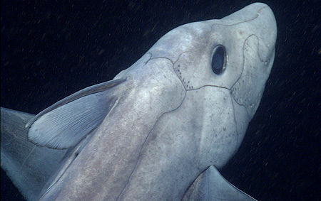 Close-up view of a pointy-nosed blue chimaera. The small dots around its head are believed to be sensory organs. Image © 2007 MBARI
