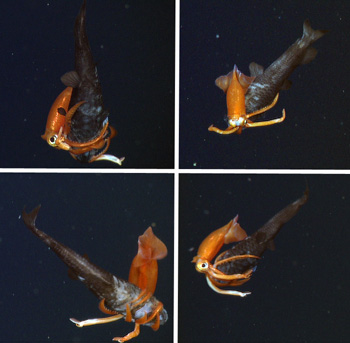 A relatively small squid, Gonatus onyx, attacking an owlfish, Bathylagus sp. This squid is probably four to five inches long, while the owlfish is about 10-12 inches long.