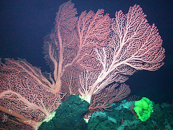 Deep-water corals on the crest of Davidson Seamount grow to over two meters (6 feet) tall. Although these corals are not unique to seamounts, they often grow particularly large and lush in these unique underwater habitats. Image: © 2006 NOAA / MBARI