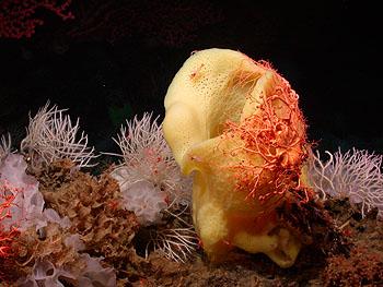 Mbari Seamounts May Serve As Refuges For Deep Sea