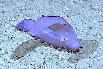 One common sea cucumber at Station M is this beautifully colored species called Psychropotes longicauda, which grows from 75 to 150 mm (three to six inches) long. This is the head of the animal. Image:(c) 2002 MBARI