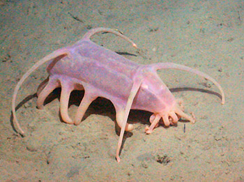 Sea cucumbers like this Scotoplanes globosa are some of the most common animals observed at Station M. This species ranged from about 50 to 100 mm (two to four inches) long. It became 100 times more common in 2001 and 2002 compared with previous years. Image:(c) 2005 MBARI