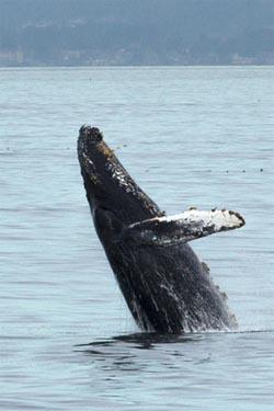 A humpback whale breaches. Photo: Knute Brekke.