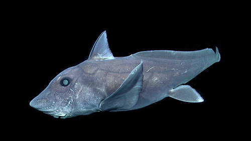 This pointy-nosed blue chimaera (Hydrolagus cf. trolli) was videotaped by MBARI's remotely operated vehicle Tiburon near the summit of Davidson Seamount, off the coast of Central California at a depth of about 1,640 meters. Image: (c) 2007 MBARI