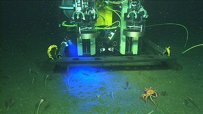 This computer drawing shows the Benthic Rover illuminating the seafloor with a blue light that causes chlorophyll to fluoresce. Such fluorescence can help scientists tell if blooms of microscopic marine algae have recently settled down onto the seafloor, where they may provide food for deep-sea organisms. Image credit: (c) 2009 MBARI