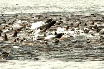 Sea lion raft close up. There were likely hundreds of sea lions making up this raft. Photo: Knute Brekke.
