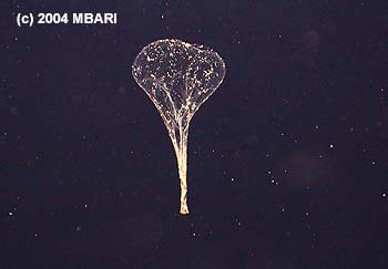 When a larvacean's mucus nets become clogged, the animal swims free. The abandoned nets then collapse like a deflated balloon and sink rapidly, carrying tiny animals and food particles toward the seafloor. Image credit: (c) 2004 MBARI