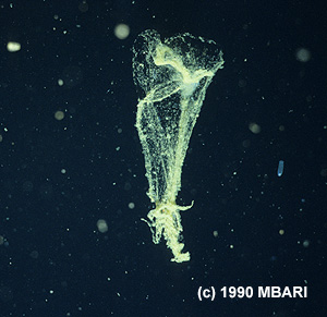 When a larvacean's mucus filters become clogged, the animal swims free. The abandoned house then collapses like a deflated balloon and sinks rapidly, carrying tiny animals and food particles toward the seafloor. Image credit: (c) 1990 MBARI