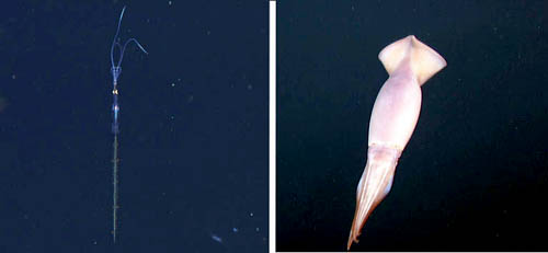 Left, a juvenile Chiroteuthis calyx. Right, Dosidicus gigas.