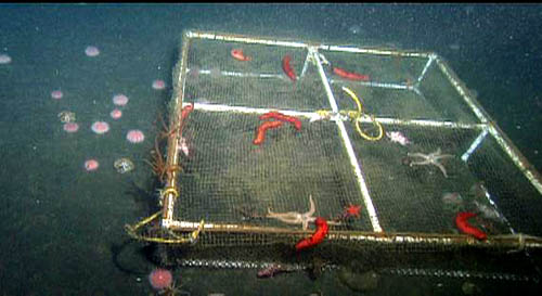 An urchin exclusion cage on the seafloor at 200 meters. This has several sea stars and sea cucumbers on top.
