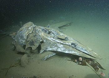 whale-skull-t933-350