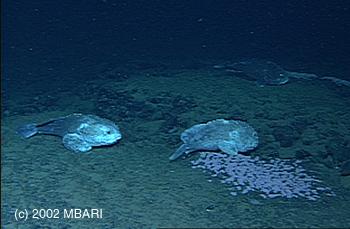 Nurseries In The Deep Sea Mbari