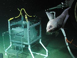 A deep-sea fish swims past an MBARI carbon dioxide experiment in Monterey Bay. Image: (c) 2002 MBARI