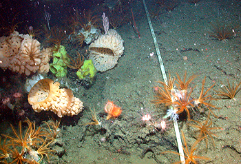 This photograph shows the Pioneer Seamount cable on the slopes of Pioneer Seamount. Near the cable are colorful sponges, a flytrap anemone, mushroom corals, and feathery crinoids. Image: (c) 2003 MBARI