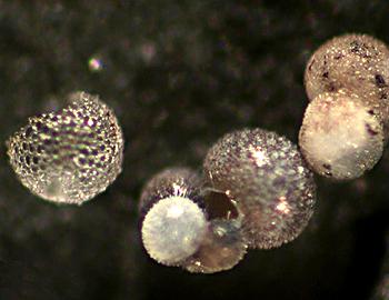 Foraminifera are small, amoeba-like organisms that live inside shells (