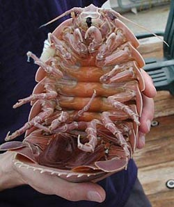 This giant deep-sea isopod is an example of an animal that has evolved to a much larger size in deeper water. These isopods are distant relatives of the tiny
