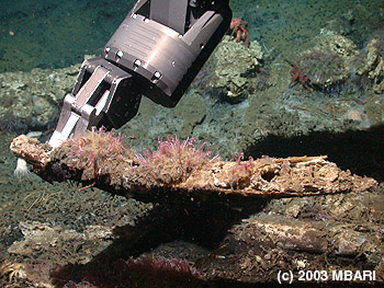 A whale bone covered with O. frankpressi worms being collected by the manipulator arm on MBARI's remotely operated vehicle Tiburon at a depth of almost three kilometers in Monterey Canyon. Image credit: (c) 2003 MBARI