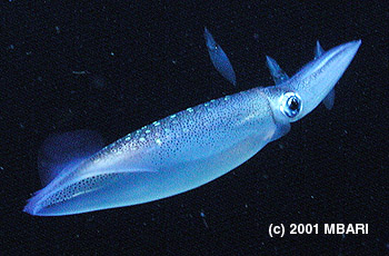 In this close-up view of a market squid you can clearly see the squid's mantle—the spotted, tube-like structure to the left of the eye. Zeidberg showed that the total length of a squid can be estimated by comparing the length of its mantle to the diameter of its eye. Photo: (c) 2001 MBARI
