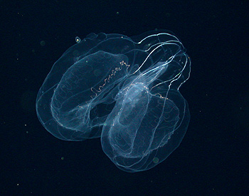 How do you classify an animal that has no color and no fixed shape and turns into a little puddle of slime when you try to preserve it for study on shore? Image: (c) 2006 MBARI