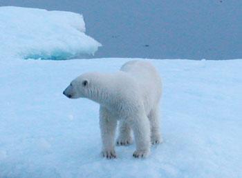 polarbear_crop_350
