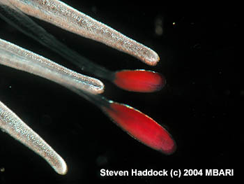 This close up view shows several of the red, glowing lures and tentilla on the newly discovered siphonophore. The inset at upper right shows a side view of a lure, which closely resembles a swimming copepod. Image: Steven Haddock (c) 2004 MBARI
