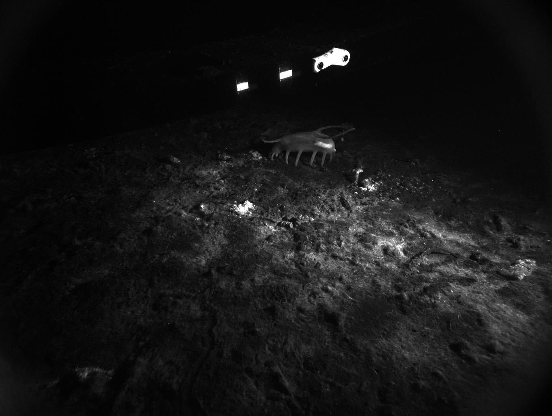 Rover fluorescence image with a <em>Scotoplanes</em> (sea cucumber)