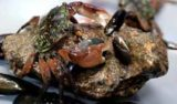 Close-up of crab on rock surrounded by mussels.