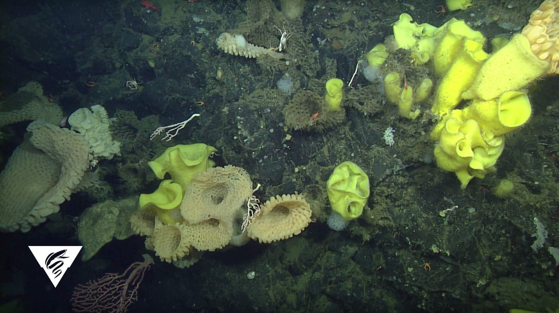 Sur Ridge sponges